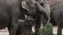 слонове-ядат-неизползвани-коледни-елхи-в-немска-зоологическа-градина-52672.jpg