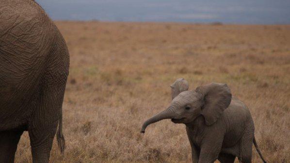 Спасиха слон и слонче, затънали в кална лагуна