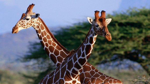Ловци плащат хиляди долари, за да стрелят по жирафи