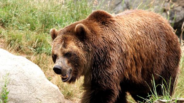 Гладни мечки нападат туристите в Родопите