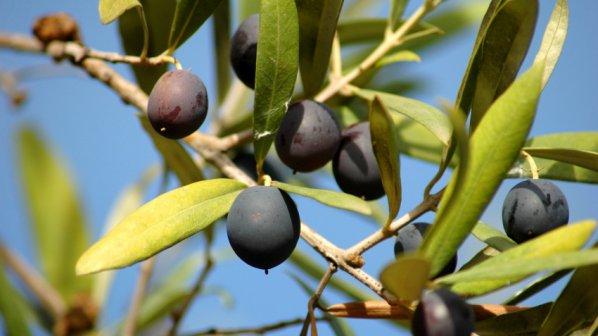 За първи път в България ще се гледат маслини