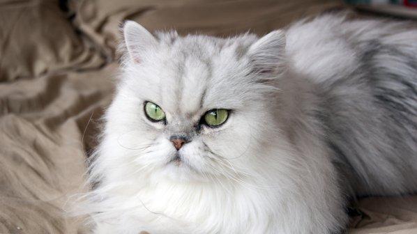 Изложба на елитни котки помага на деца в нужда