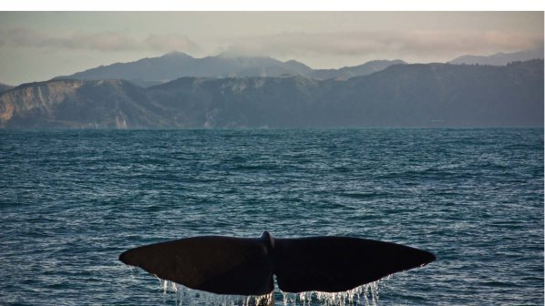 Неизвестна болест мори китове край бреговете на Патагония