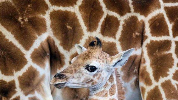 Жирафче се самоуби в зоопарк в Египет