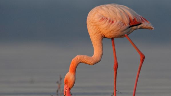 На 83 години почина най-старото розово фламинго в света