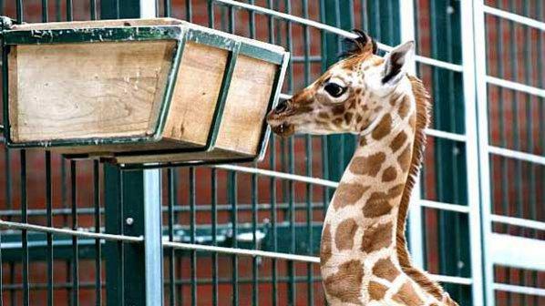 Жирафче, обречено на евтаназия, поражда полемика в Дания