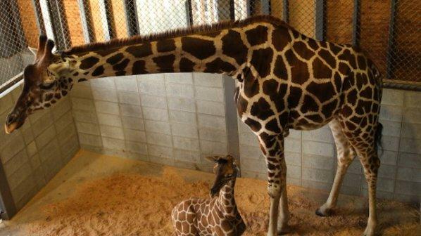 Още един жираф от датски зоопарк може да бъде умъртвен