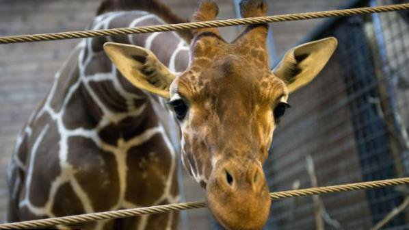 Протести заради личната трагедия на един жираф
