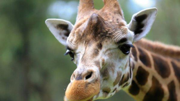 Жираф шутира жена в зоопарк