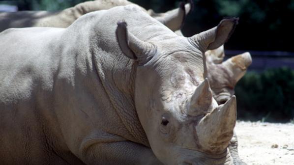 Почина последният северен бял носорог