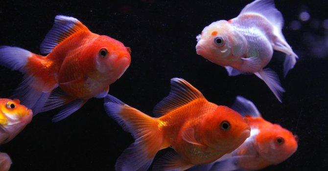 Канада брани златните рибки от изхвърляне в тоалетната