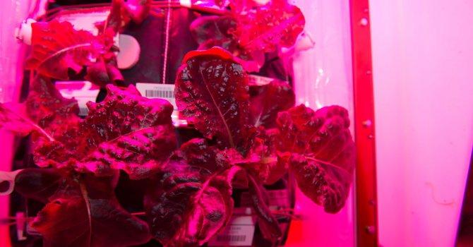 Астронавтите на NASA ще хапват зеленчуци собствено производство