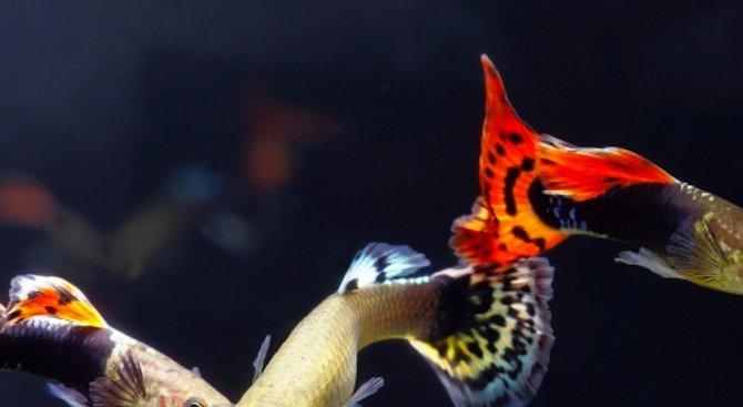 Женските риби се научават да плуват по-бързо, за да се спасят от похотливи ухажори