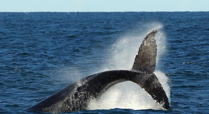 Спасиха гърбат кит, оплетен в рибарски мрежи