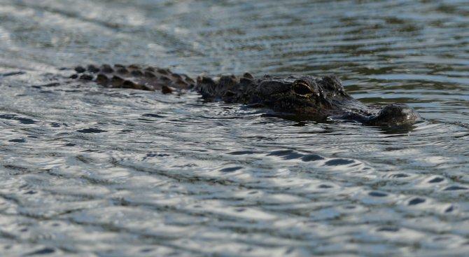 Алигатор изяде крадец във Флорида