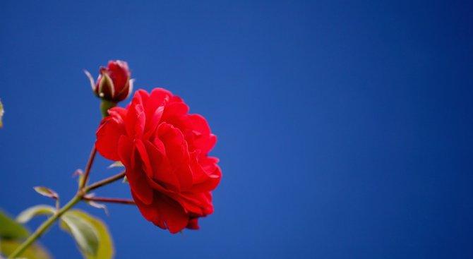 Рози цъфтят в родопското село Бръщен