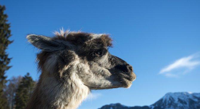 Лама се роди в зоокъта в Пазарджик