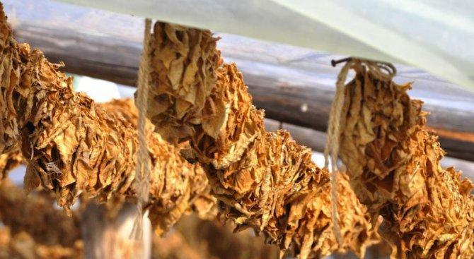 Възобновява се изкупуването на тютюн в Североизточна България