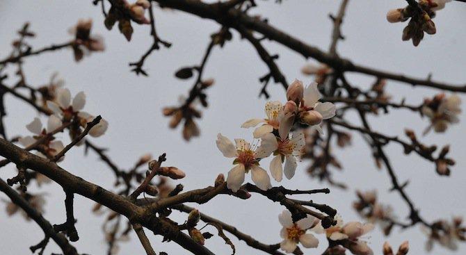 Бадемите във Варна цъфнаха (снимки)