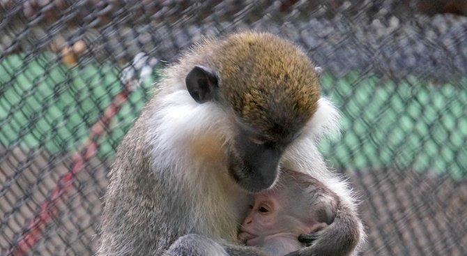 Маймунка е най-новият обитател на зоопарка в Айтос