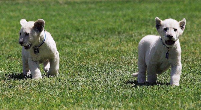 Три бели лъвчета се родиха във френски зоопарк
