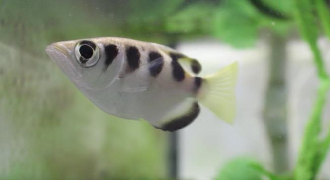 Рибите разпознават човешки лица (видео)