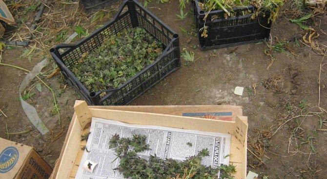 Високотехнологична лаборатория за марихуана е разкрита в Пазарджик
