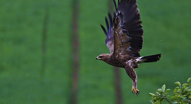 Откриха 56 гнезда на малък креслив орел у нас