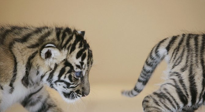 Три тигърчета се родиха в пазарджишкия зоокът