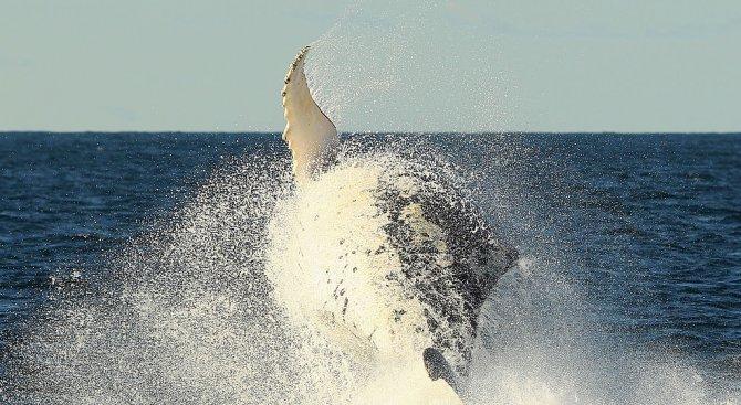 Гърбатите китове спасяват тюлени от нападения на косатки