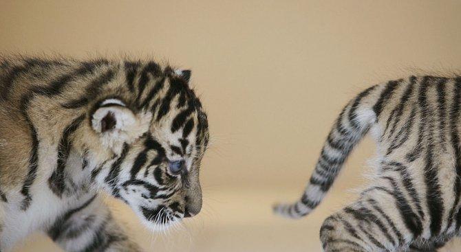 Първа ваксина получиха малките тигърчета в пазарджишкия зоокът