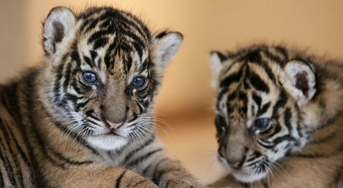 Четири тигърчета се родиха едновременно в зоопарка в Пазарджик (видео)