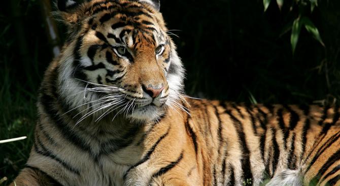 Закрилници на тигри ще тичат по столичните улици в неделя