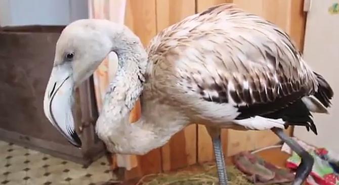Деца спасиха фламинго, стигнало до Сибир вместо до Саудитска Арабия (видео)