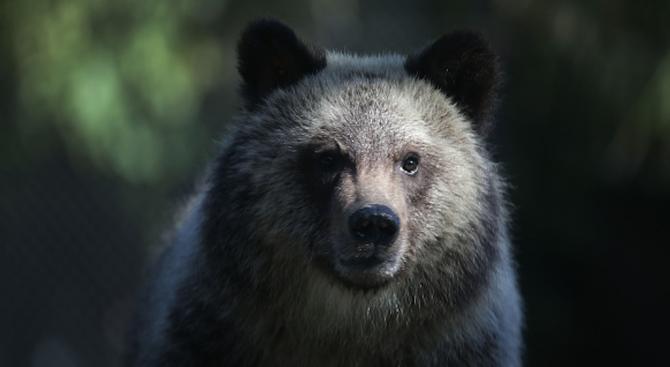 Наши ветеринари упоиха последните циркови мечки Сърбия