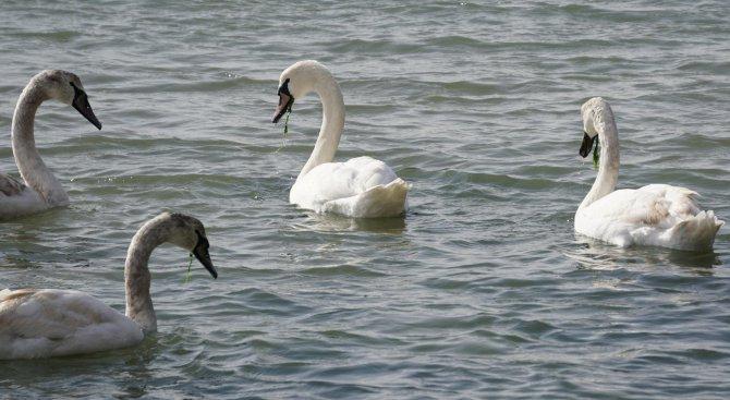Лебедите пристигнаха във Варна (снимки)