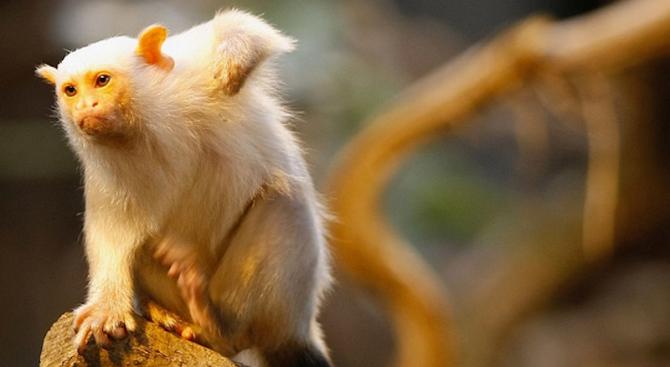 Откраднаха рядък вид маймунки от парк за диви животни