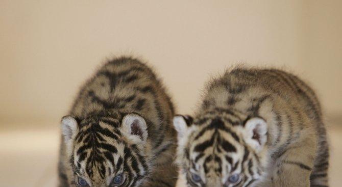 Две тигърчета са новите обитатели на зоопарка в Пазарджик