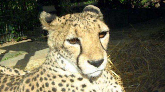 Гепардите станаха застрашен вид