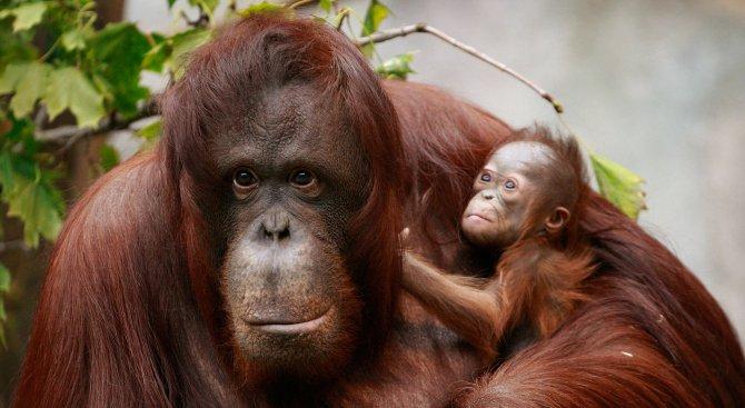 Над 60% от маймуните в света са застрашени от изчезване