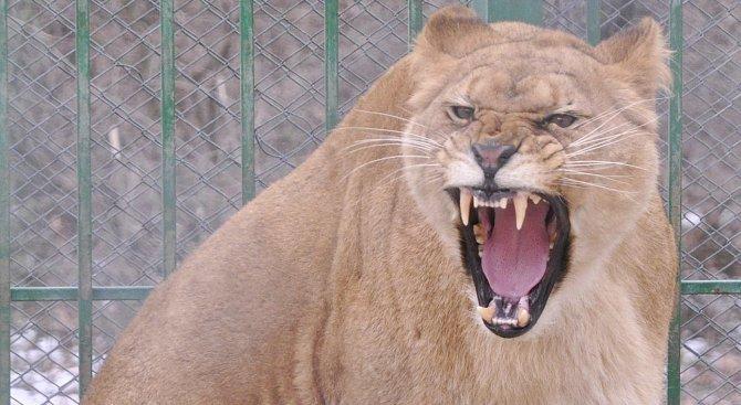 100 кила пържоли изяждат на ден животните в столичния зоопарк