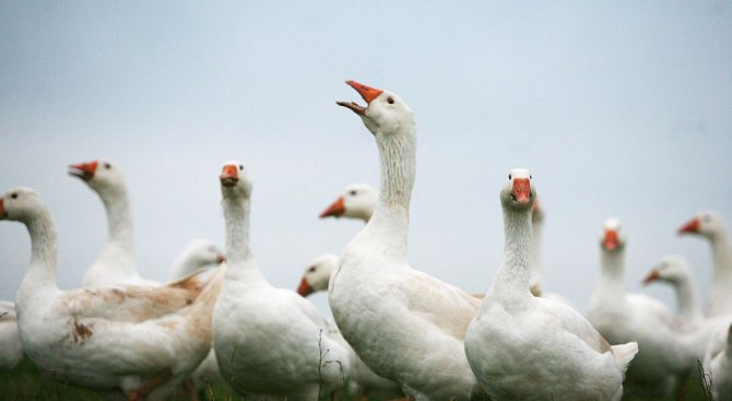 Близо 20 млн. лева са изплатени за хуманно отношение към птиците