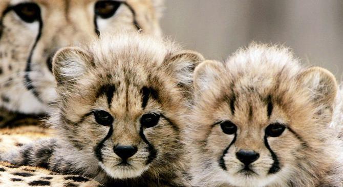 Бебета гепарди се родиха във Вирджиния  (видео)