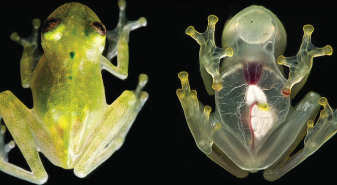 Учени откриха нов забележителен вид жаба