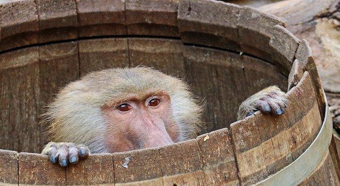 Маймуна спря тока на 50 000 души (видео)
