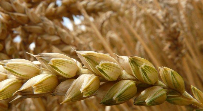 Цената на зърното от новата реколта е по-висока от миналогодишната