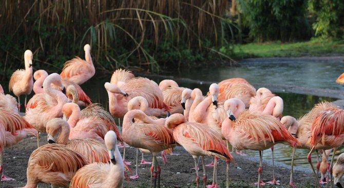 Розово фламинго се появи в Родопите