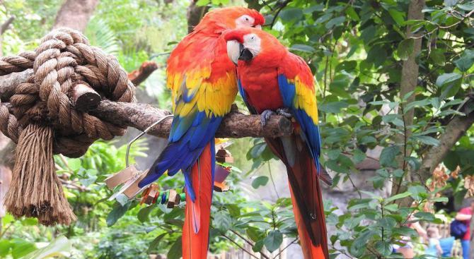 Оцеляването на австралийски папагали е застрашено