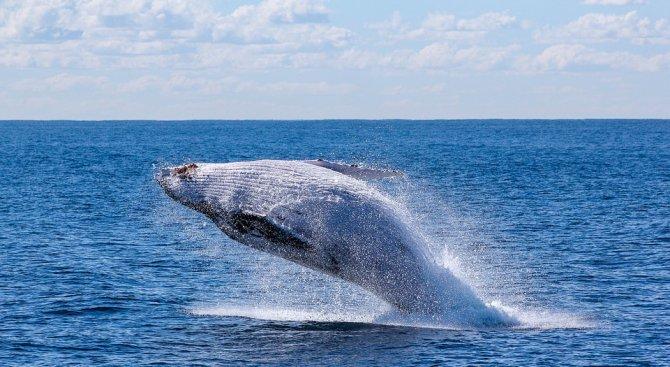 Мъж плува с гърбат кит (видео)