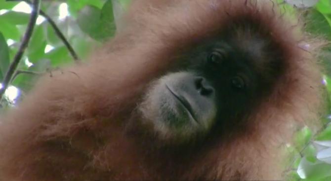 Откриха нов вид орангутани на остров Суматра (снимки+видео)
